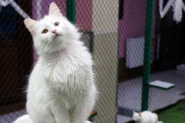 (Özel) Van kedilerinin kalitesi her yıl artıyor