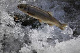 Göç eden balıkların önündeki engeller temizlendi