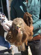 Van'da yaralı Kara Çaylak kuşu tedavi altına alındı