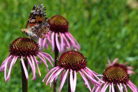 Van Gölü kıyısında rengarenk tıbbi bitkiler bahçesi