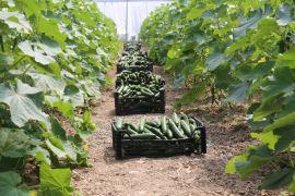 Gürpınar'da sezonun ilk sera hasadı toplandı