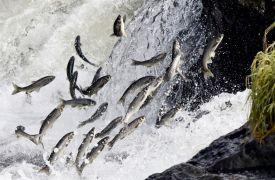 İnci kefali balıklarının dönüş yolculuğu başladı