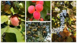 Meyve çeşitlerinin yaygınlaştırılması
