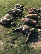 Sokak köpekleri 12 koyunu telef etti