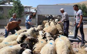 Van'da yetiştirilen kurbanlıklar Adana'ya gönderildi