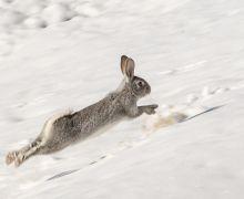 Akdamar Adası'nın daimi misafirleri tavşanlar