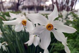 (Özel haber) Zerrinkadeh çiçekleri bu yıl hüzünlü açtı