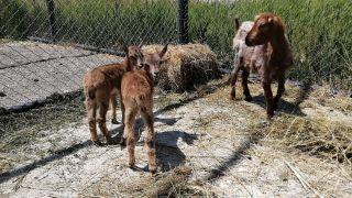 (Özel) Yavru yaban keçilerine sütanne desteği