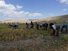 Çaldıran Belediyesinin ektiği fasulyenin hasadına başlandı