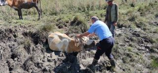 Gevaş'ta bataklığa saplanan 2 inek kurtarıldı